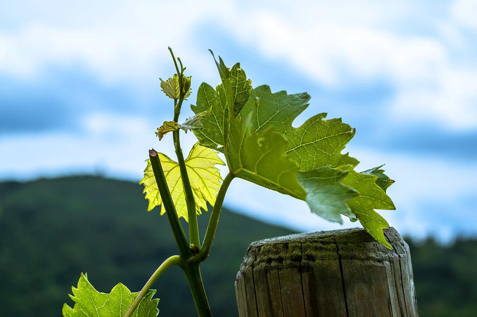 Wine, Leaves, Vine, Winegrowing, Vine Leaves, Vineyard