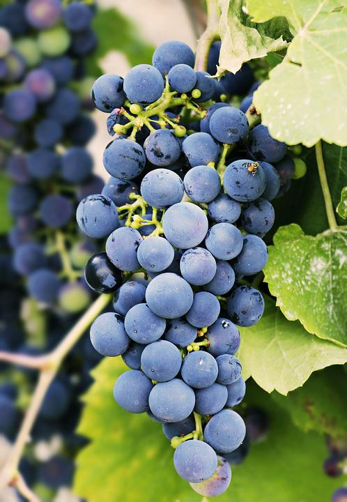 Grapes, Grapevine, Vine, Fruit, Wine, Winegrowing