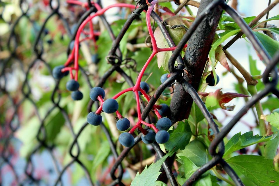 Parthenocissus, Vines, Black Berries, Autumn, Plant