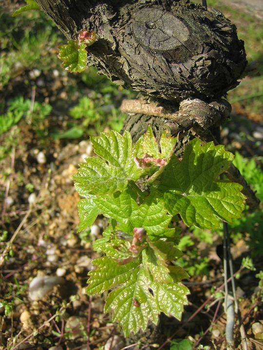 Vines, Foliation, Bordeaux