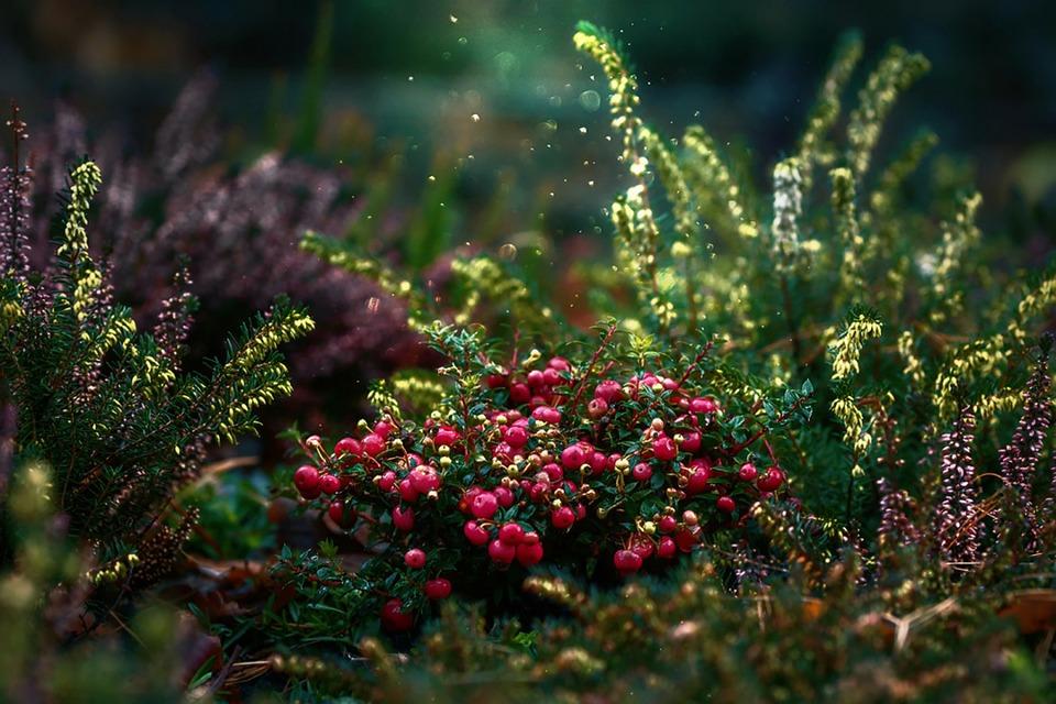 Cranberries, Fruit, Plant, Vines, Dwarf Shrubs, Dust