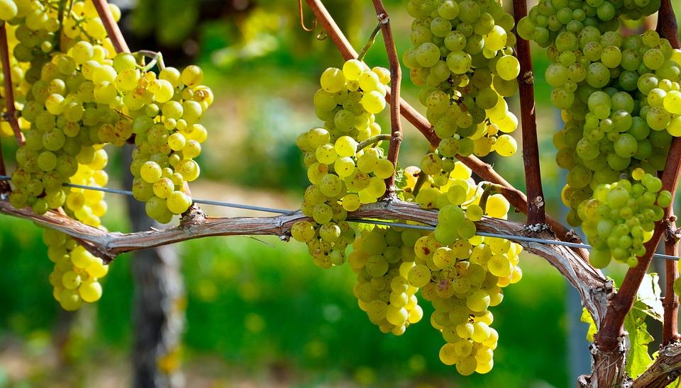 Grapes, Vines, Fresh Grapes, Fresh Fruits, Fruits
