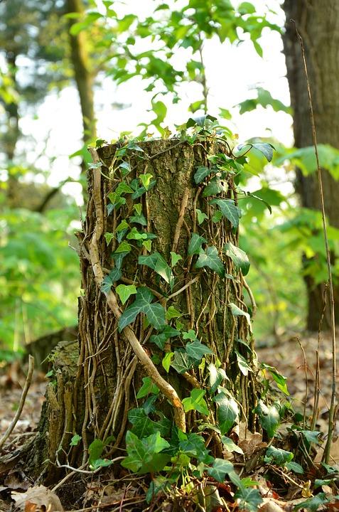 Tree-trunk, Vines, Leaf, Nature, Tree, Natural, Plant