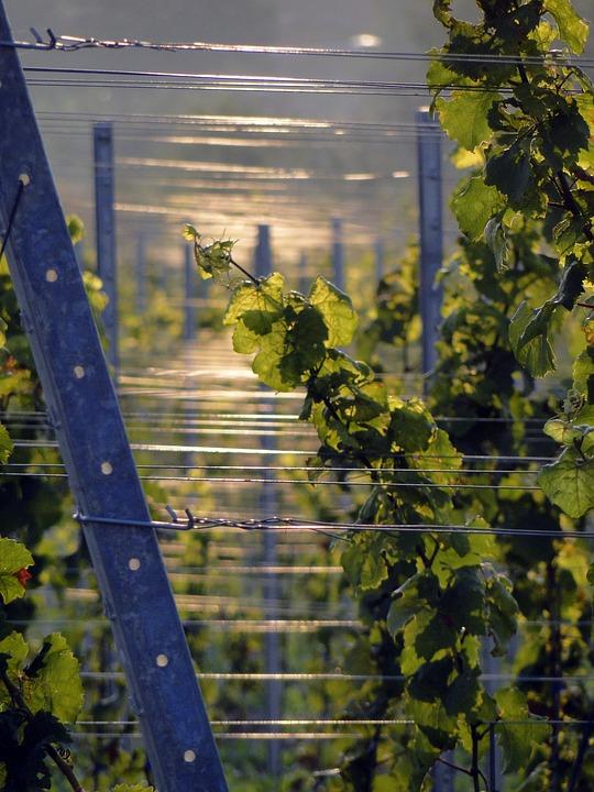 Vines, Winegrowing, Vine, Wine, Grapes, Vines Stock
