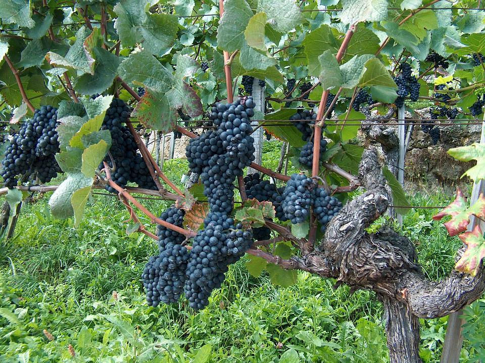 Grapes, Vine, Vines Stock, Blue Grapes, Winegrowing