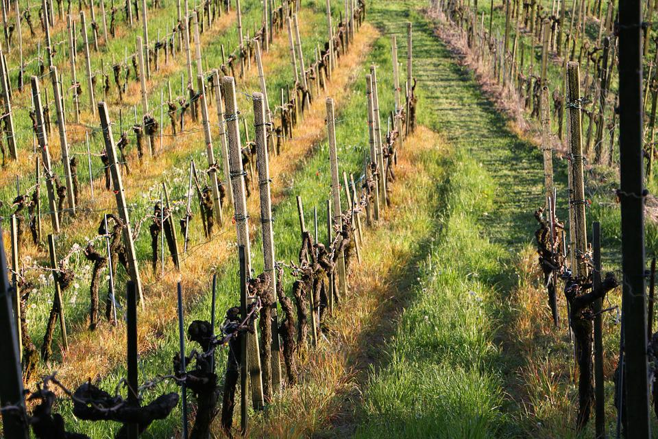 Land Management, Vines, Vines Stock, Piles, Grass Green