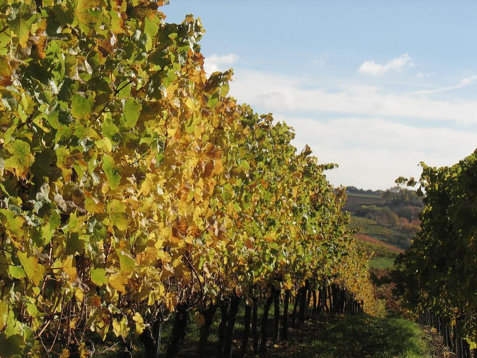 Vines, Winemaker, Vineyard, Winegrowing