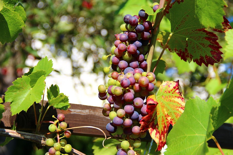 Grapes, Wine, Fruit, Winegrowing, Vines, Vines Stock