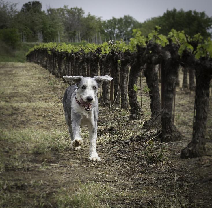 Dog, Running Dog, Happy Dog, Country, Vineyard, Animal