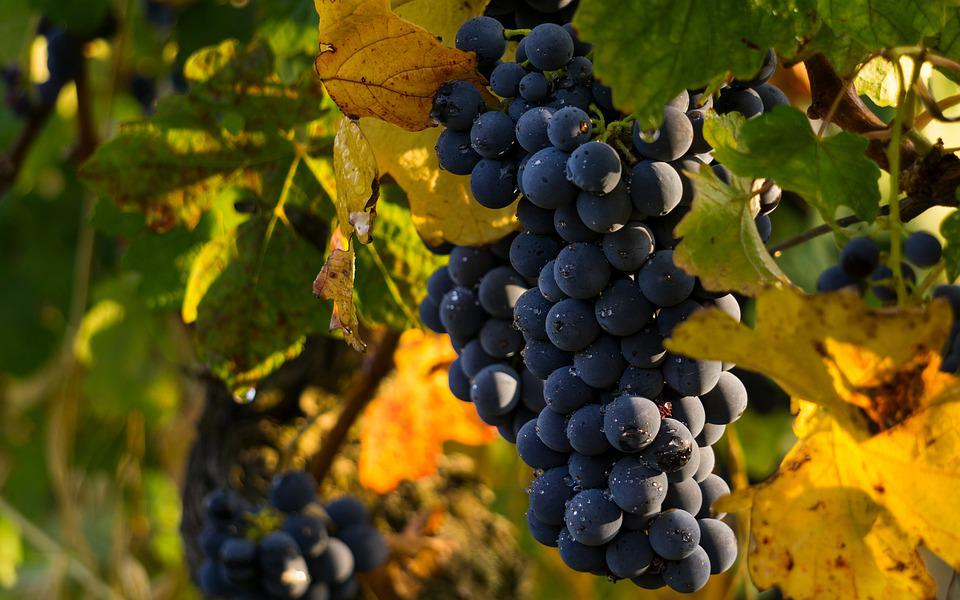Grapes, Vintage, Screw, Vineyard, Bunch, Autumn