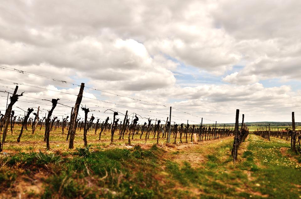 Wine, Vines, Floor, Grapes, Winegrowing, Vineyard