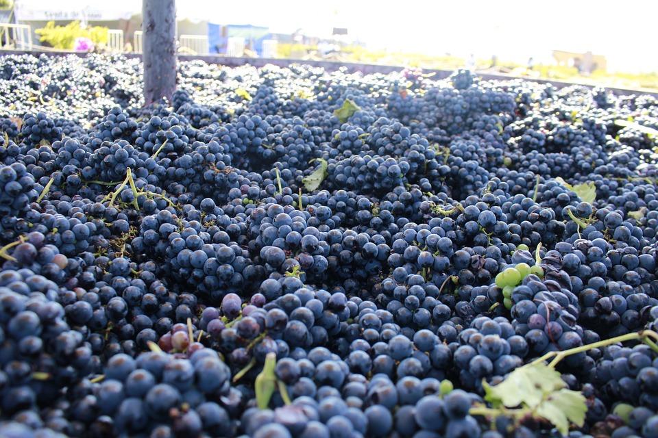 Fruit, Pastures, Grape, Plant Guide, Food, Vineyard