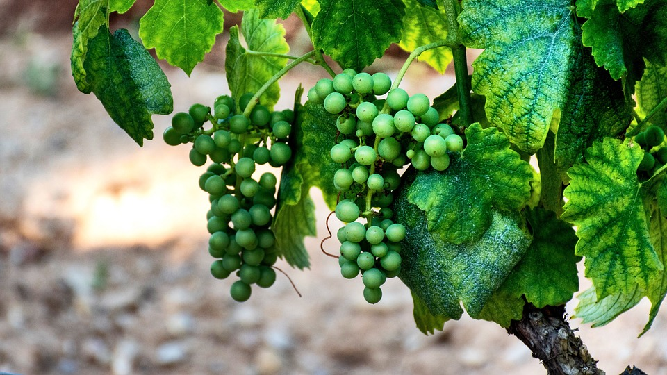 Grapes, Vineyard, Viticulture, Grapevine, Vine