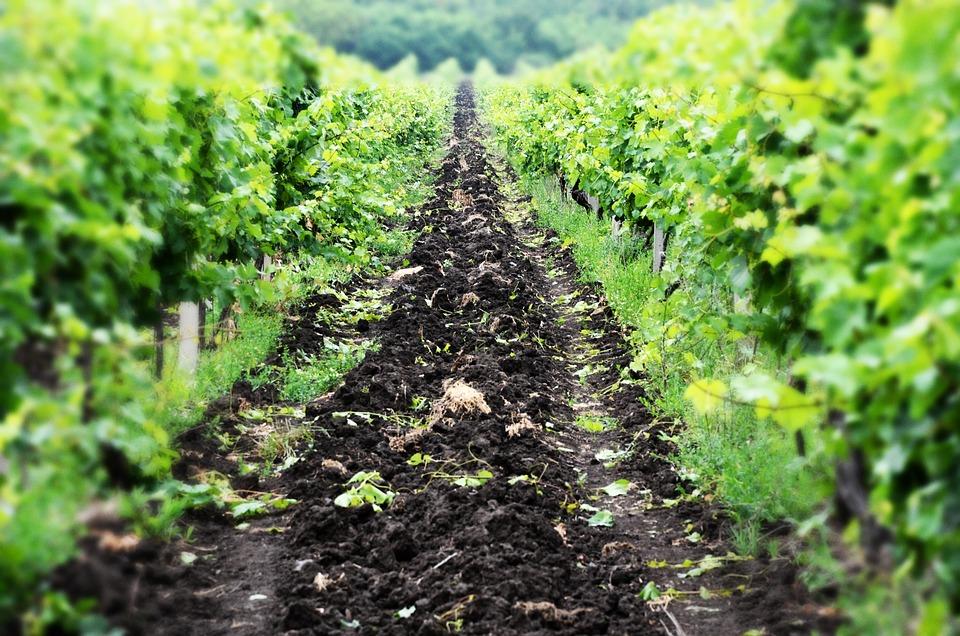 Vineyard, Napa, Valley, Nature