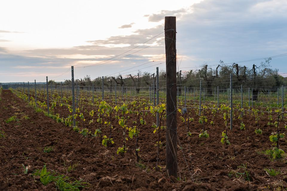 Field, Nature, Vineyard, Green, Plants, Naturals