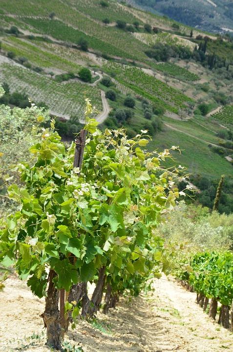 Vineyard, Wine, Agriculture