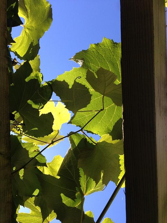 Vines, Vineyard, Light, Wine Growing, Grape, Leaves