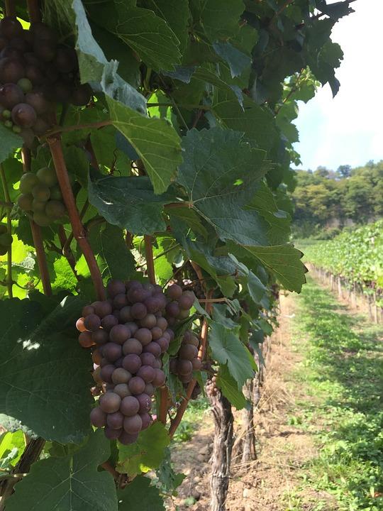 Grapes, Wine, Wines, Vineyard, Fields, Wine Making
