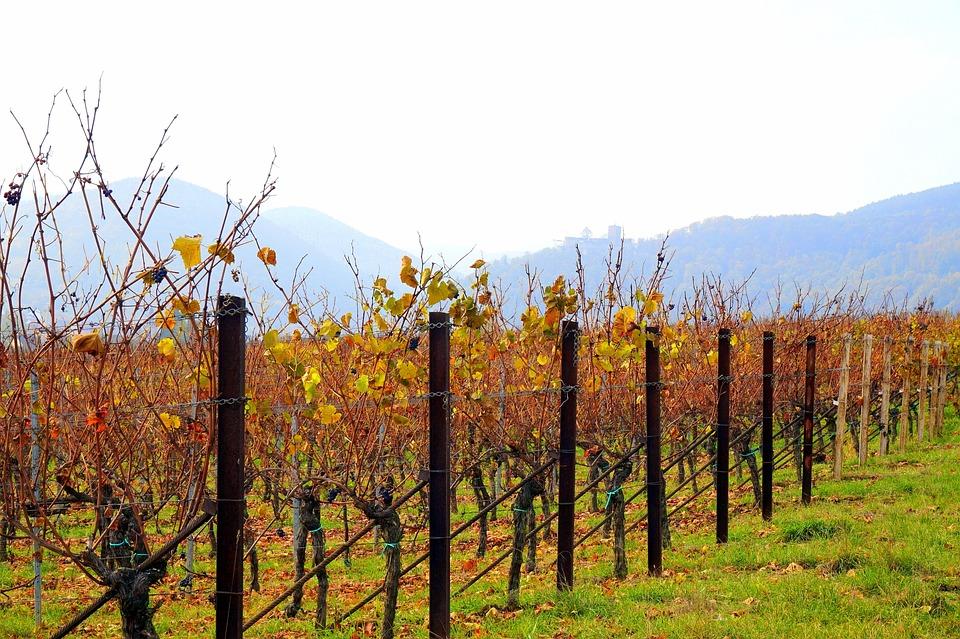 Autumn, Vineyards, Landscape, Vines, Palatinate
