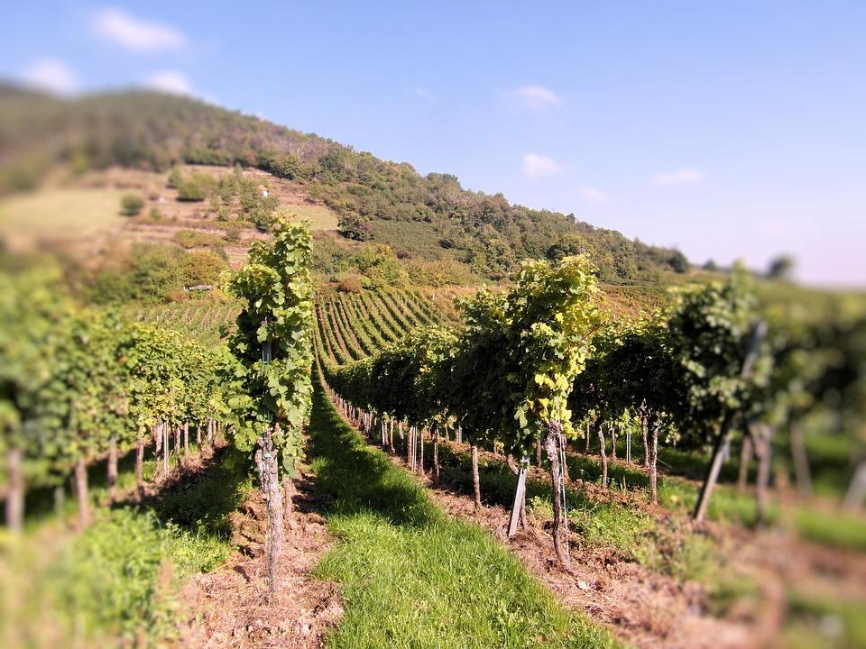 Wine, Wine Harvest, Vineyards, New Wine, Vintage