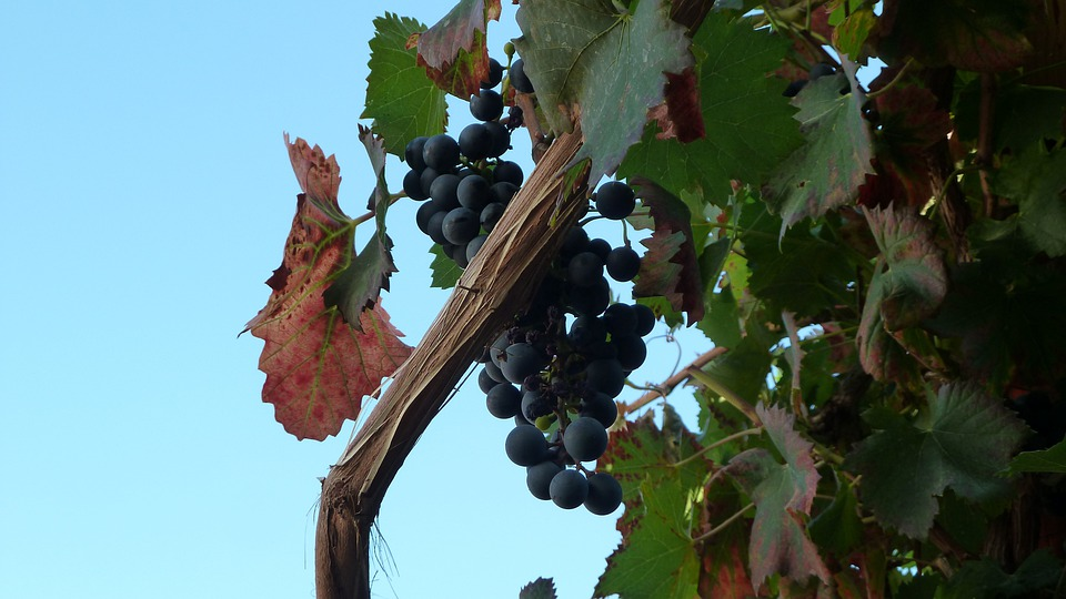 Grape, Vintage