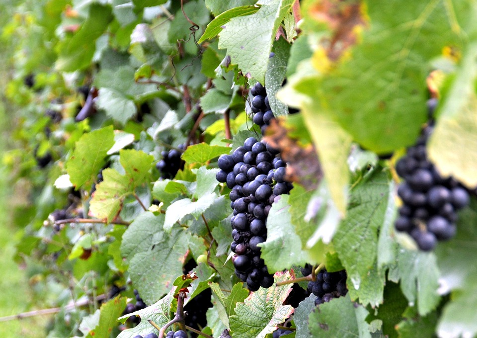 Grapes, Vineyard, Vintage, Autumn
