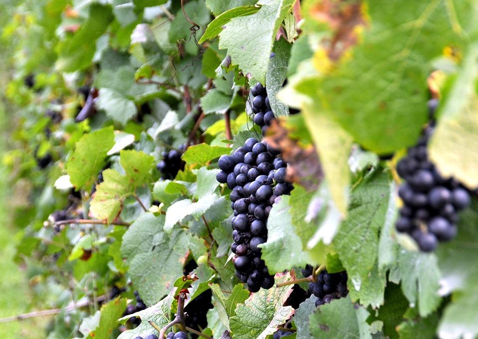Grapes, Vineyard, Vintage, Autumn