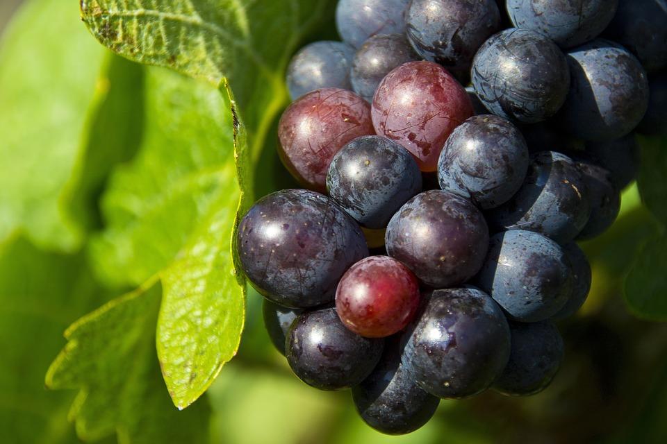 Grapes, Nature, Winegrowing, Wine, Vintage, Vine Leaves