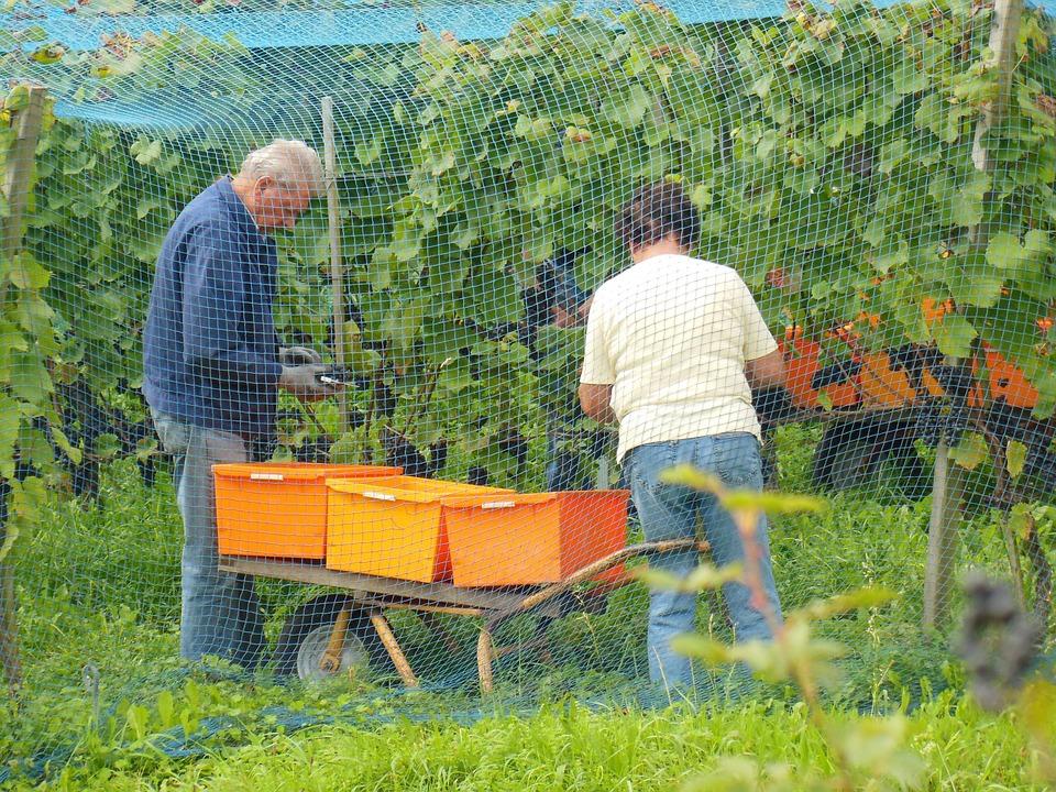 Reichenau Island, Vintage, Lake Constance, Wine Harvest