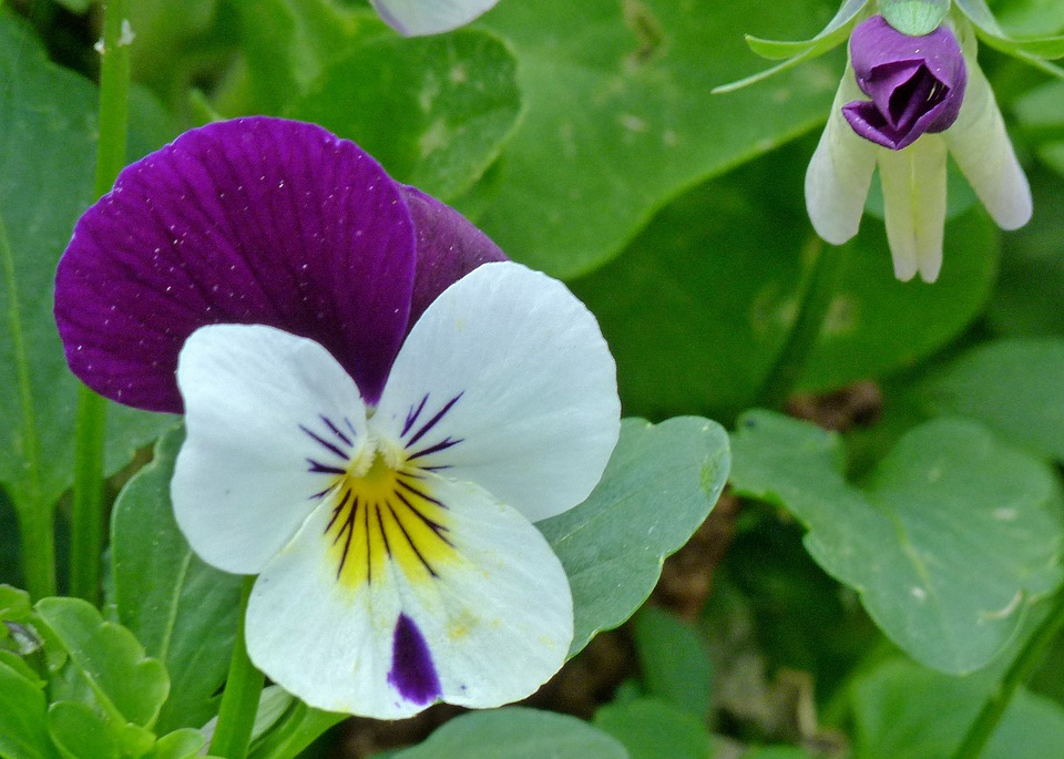 Viola, Pansy, Flower, Garden Pansy, Flowers, Bud, Pink