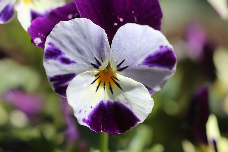 Pansy, Flowers, Close, Violet, Viola, Violaceae