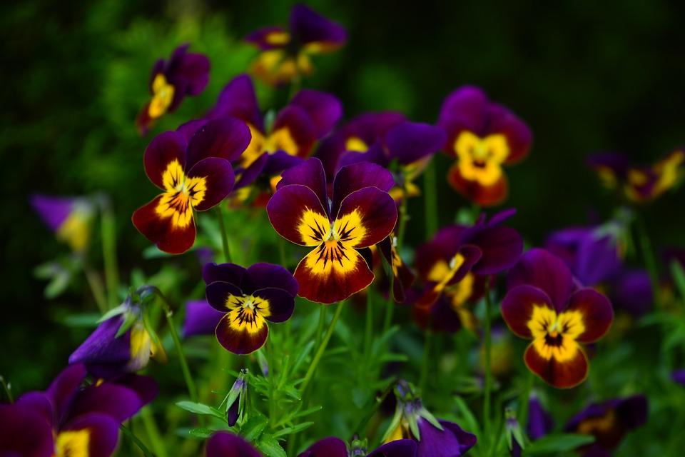 Pansy, Flower, Blossom, Bloom, Yellow, Violet, Viola
