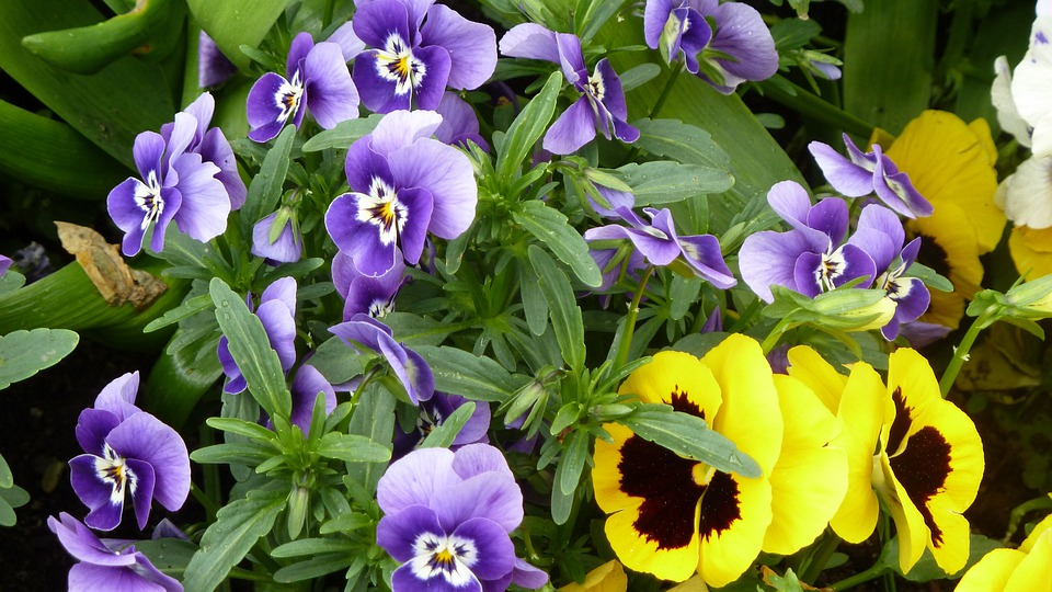 Spring, Colorful, Violaceae, Pansy, Flowers