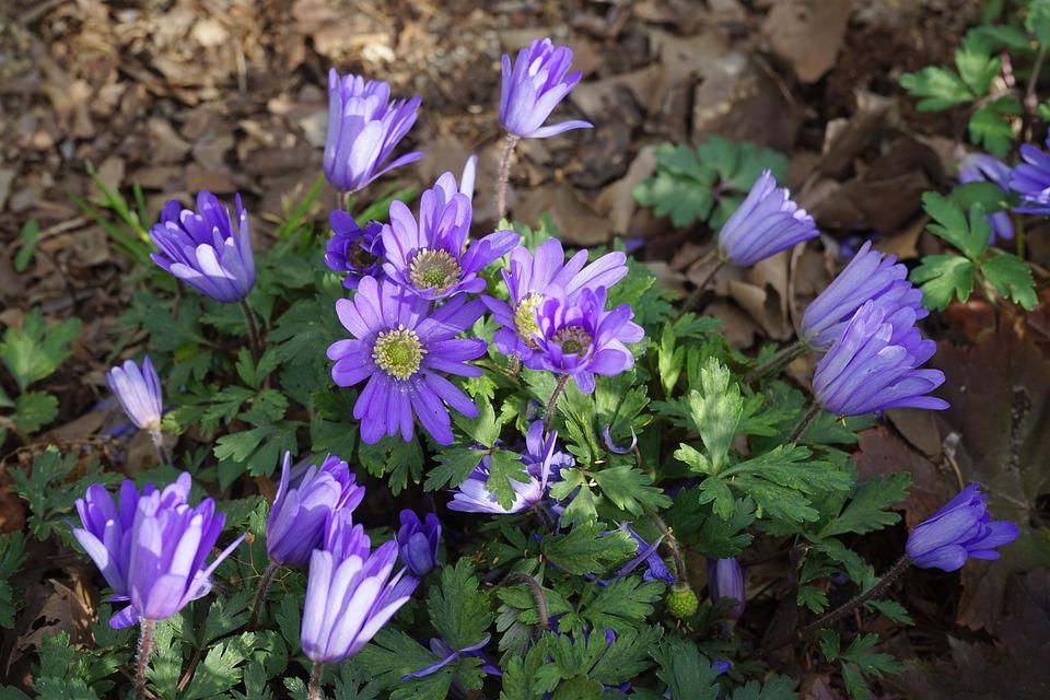 Anemone, Flowers, Violet, Balkan Anemone, Blue