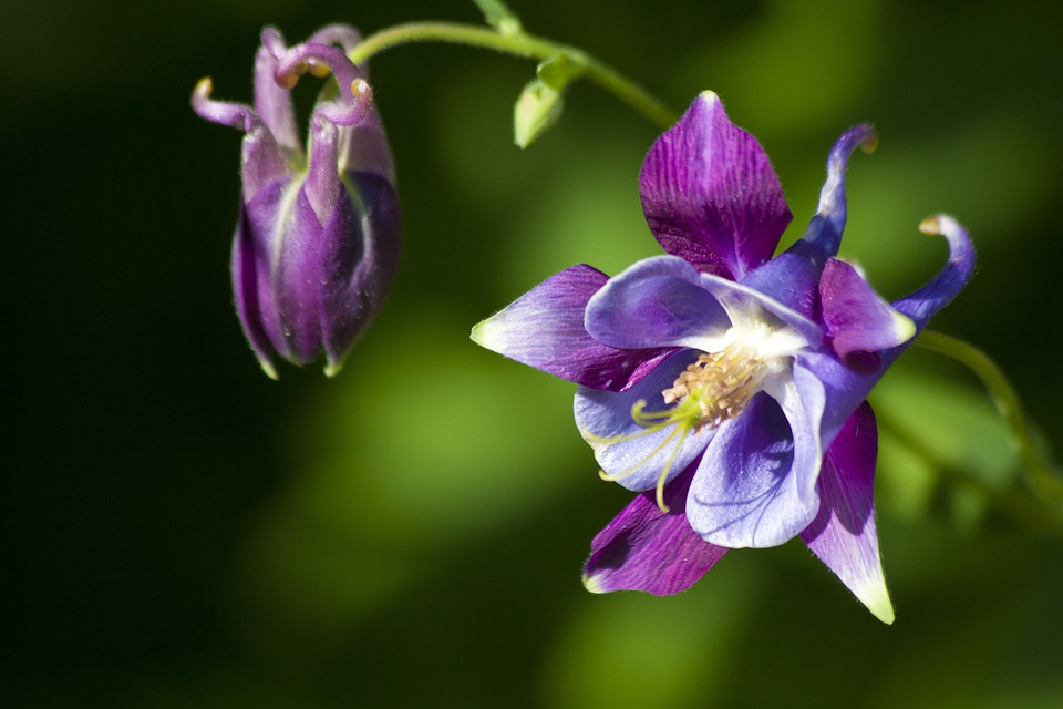 Columbine, Flower, Blossom, Bloom, Plant, Violet