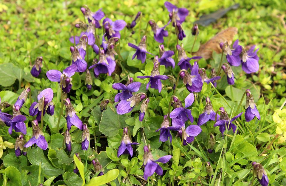 Violets, Flowers, Spring, Violet, Blooms, March