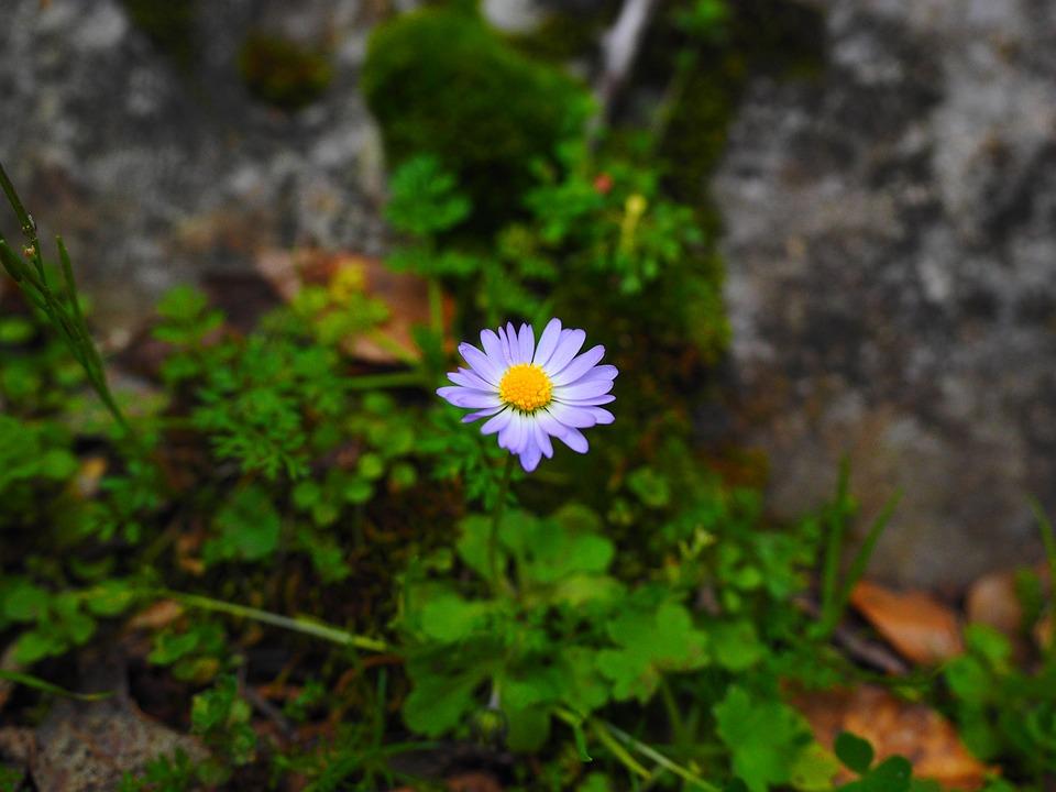 Annual Daisy, Blossom, Bloom, Flower, Violet, Purple