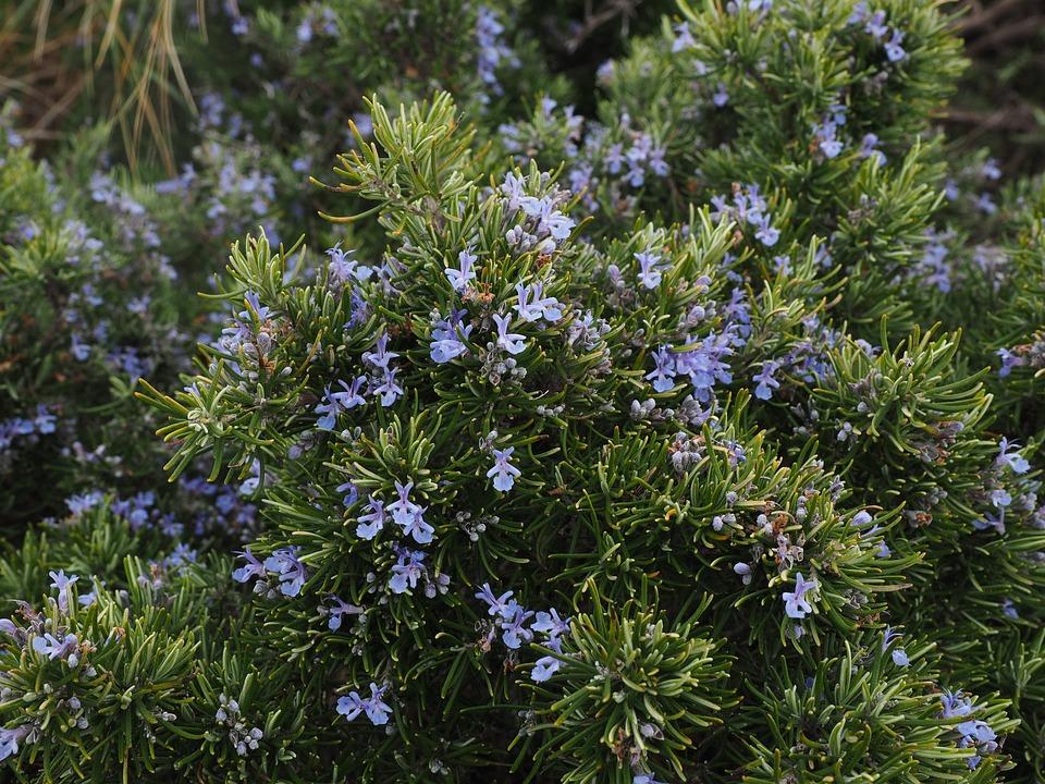 Rosemary, Flowers, Blue, Violet, Rosmarinus Officinalis