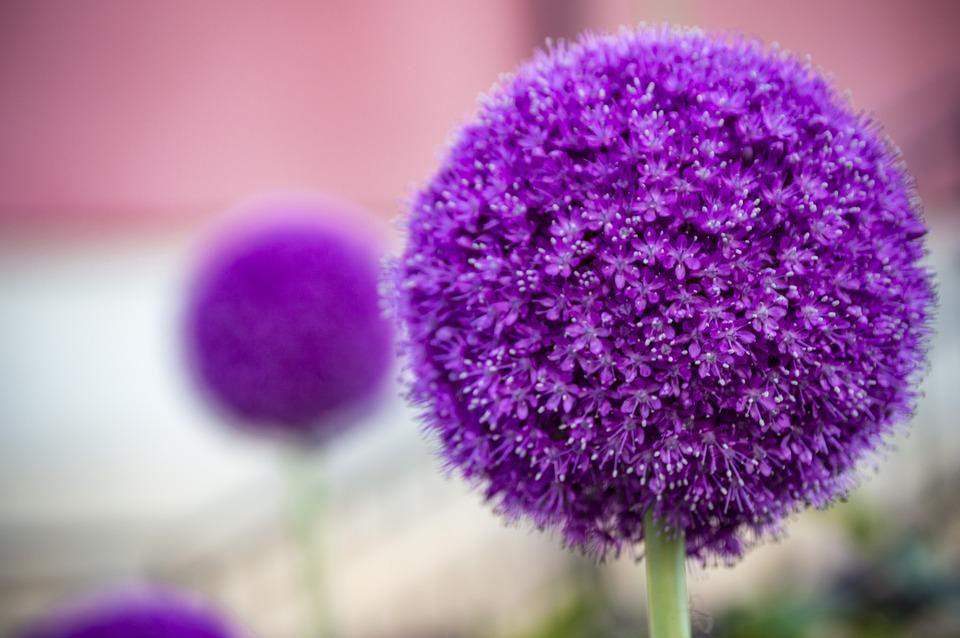 Bolltistel, Ball, Flower, Purple, Plant, Violet