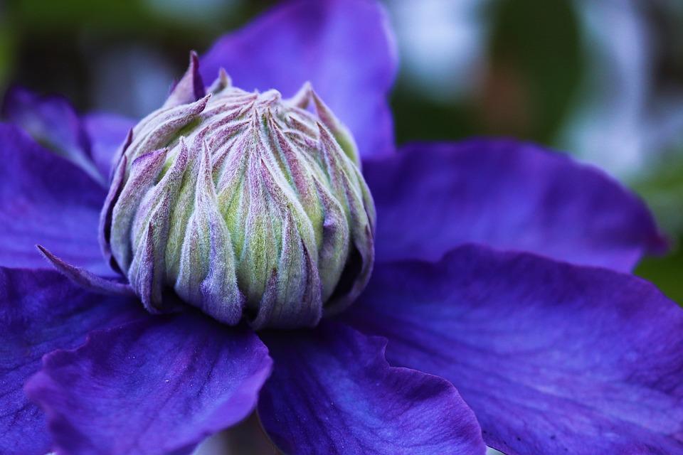 Clematis, Blossom, Bloom, Violet, Close Up, Bloom