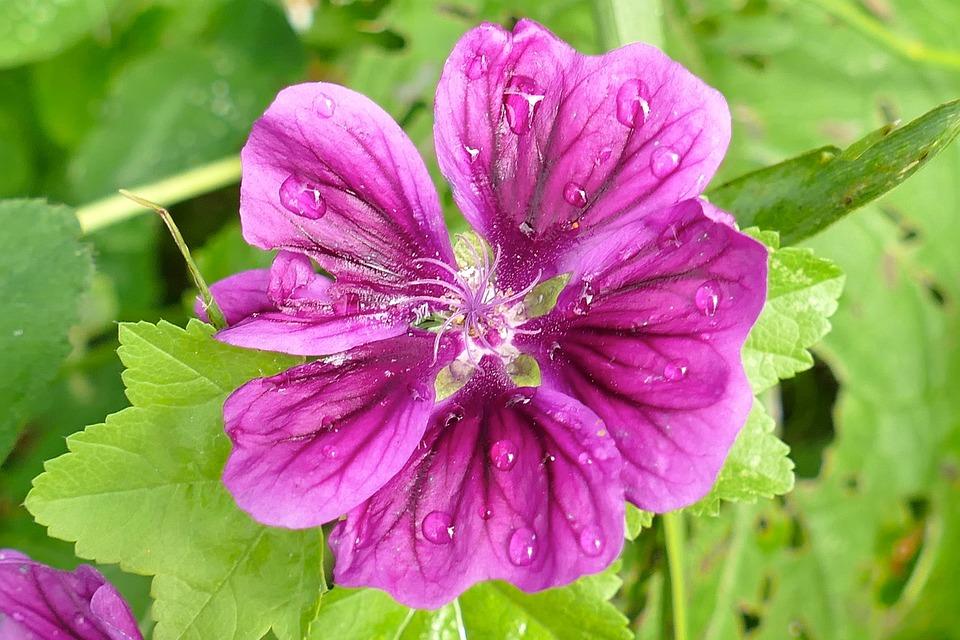 Mallow, Close, Beautiful, Violet, Blossom, Bloom, Bud