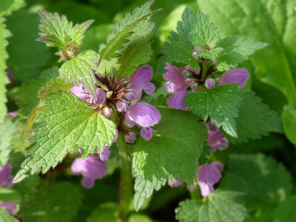 Dead Nettle, Violet, Spring, Edge Of The Woods