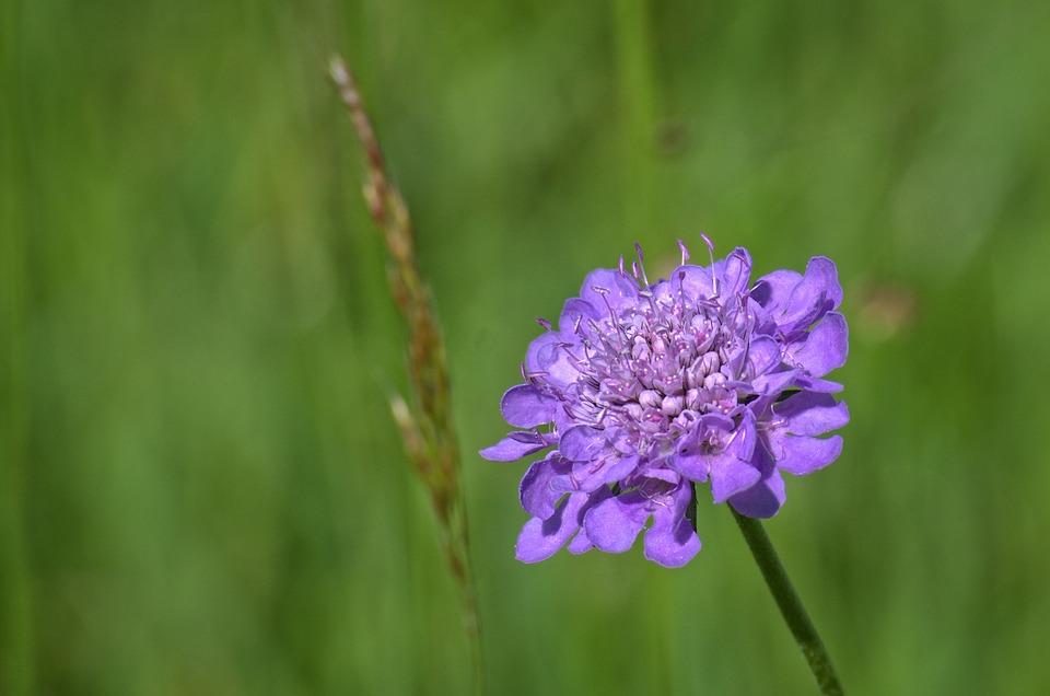Field Scabious, Plant, Purple, Pointed Flower, Violet