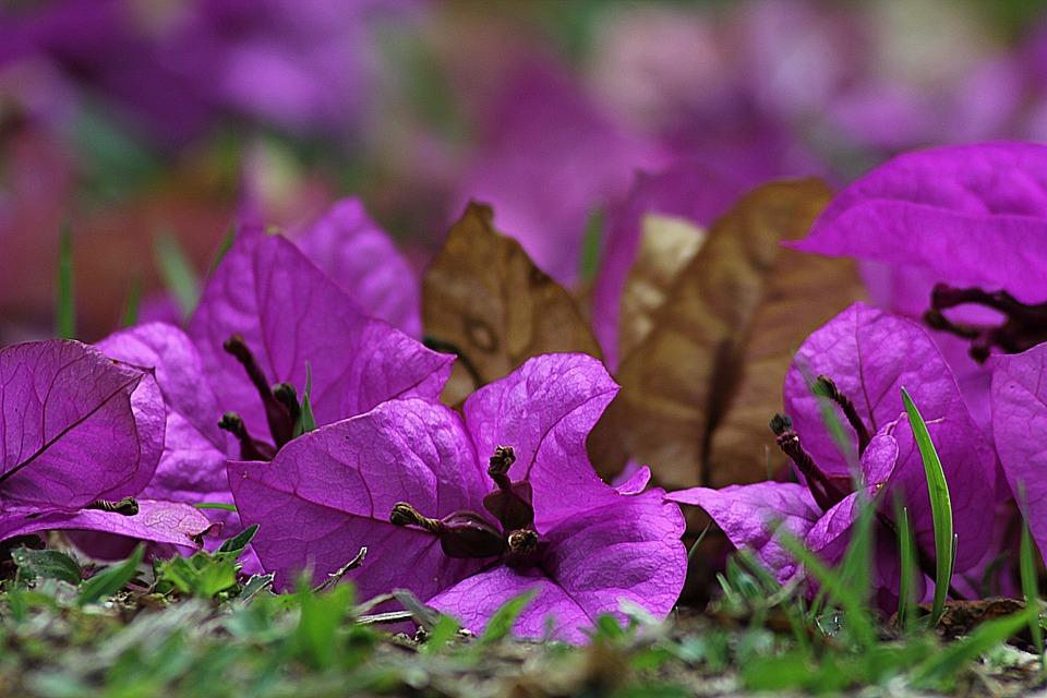 Bougainvillea, Flower, Blossom, Plant, Violet, Veranera