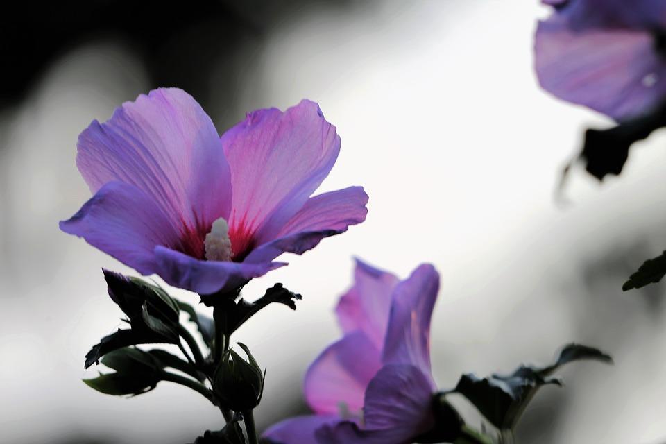 Garden Mallow, Hibiscus, Violet Flower, Blooming