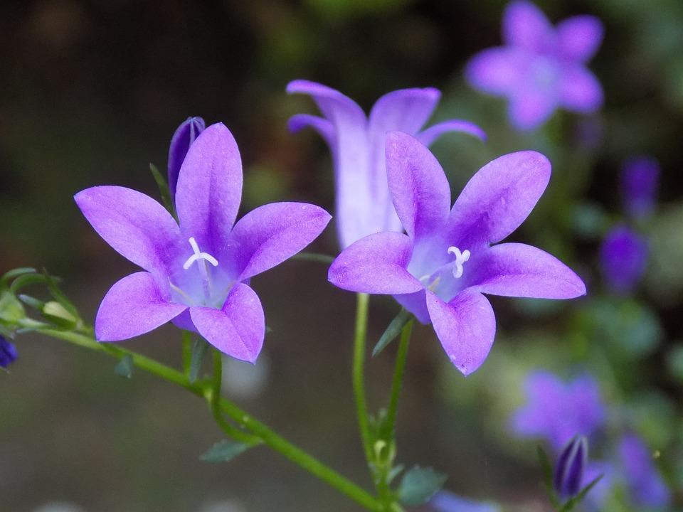 Violet, Violaceae, Flower