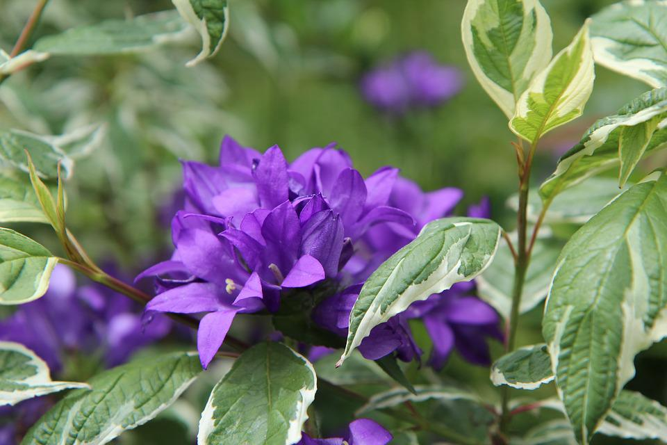 Free photo violet flowers perennial purple flower flowering max pixel purple flower flowering perennial violet flowers mightylinksfo