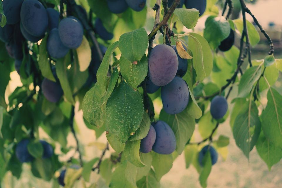 Plums, Fruit, Plum Tree, Fruits, Violet, Nature