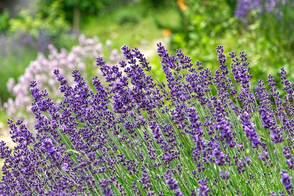 Lavender, Garden, Summer, Nature, Herbs, Purple, Violet