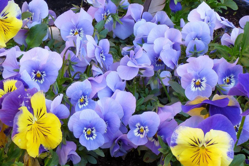 Pansy, Violet, Blossom, Bloom, Garden, Plant, Nature
